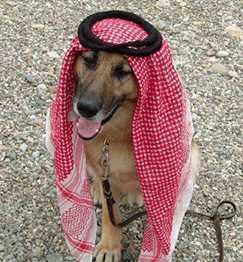 سگ عرب